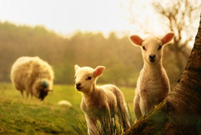 Lambs in a meadow