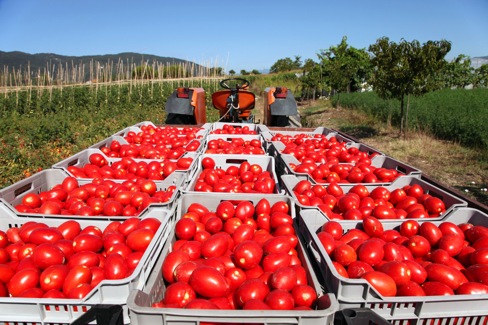 Tomatoes in wagons