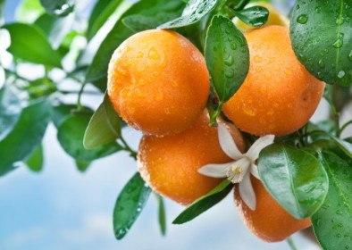 Oranges in a grove
